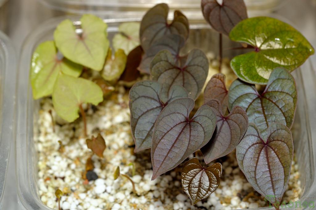 Dioscorea alata and Dioscorea hamiltonii seedlings