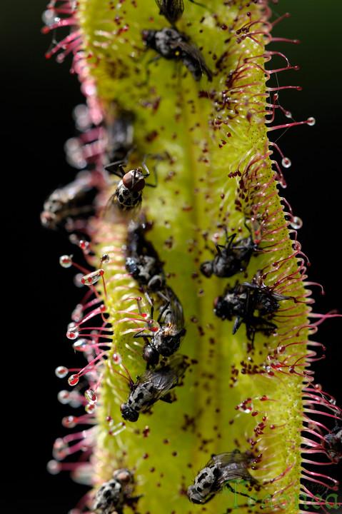 Drosera regia with prey