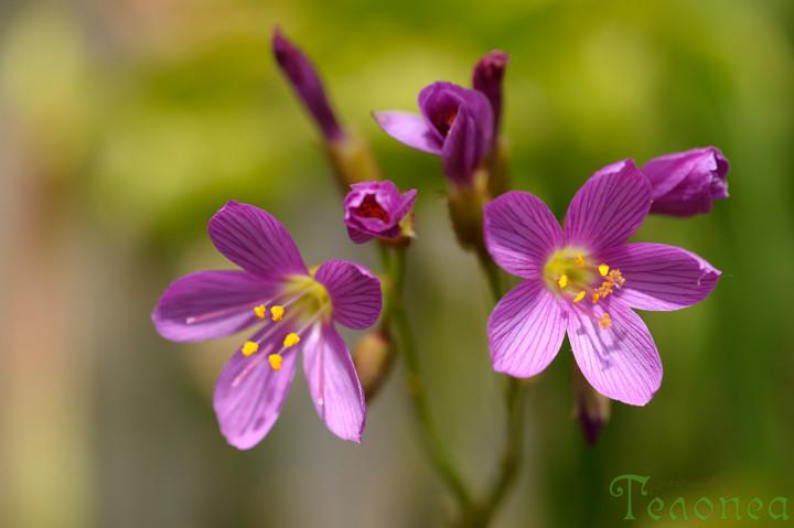 Drosera regia flowers closeup