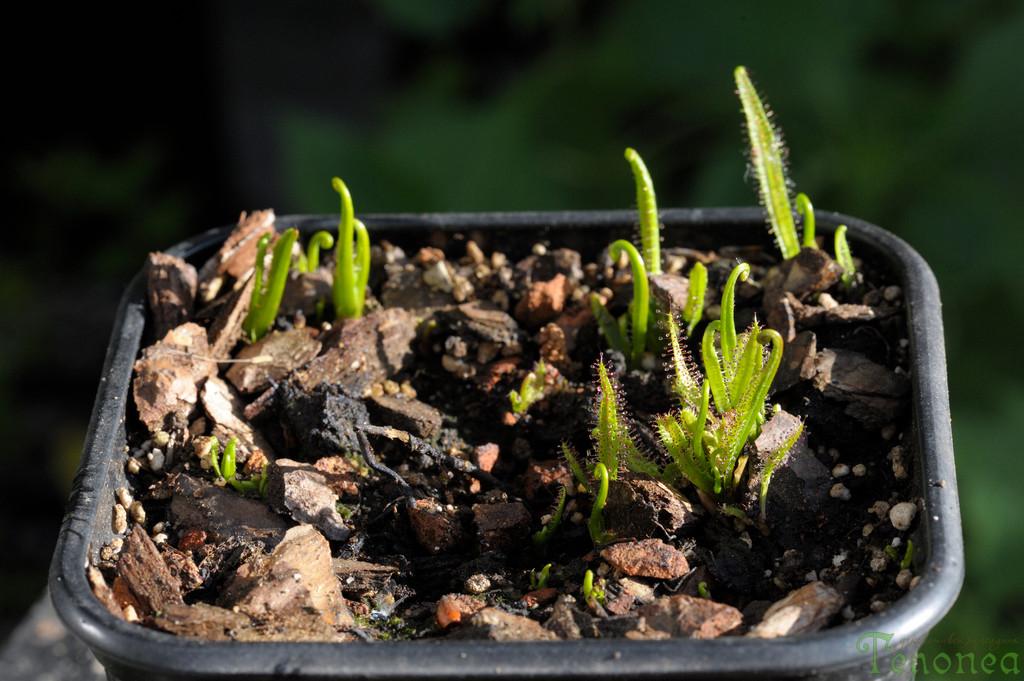 Drosera regia from root cuttings