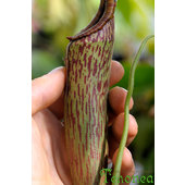 Nepenthes+maxima