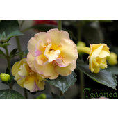 Achimenes+%27Yellow+English+Rose%27