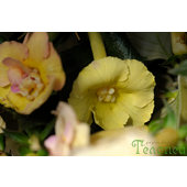 Achimenes+%26%23039%3BYellow+English+Rose%26%23039%3B