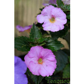 Achimenes+%26%23039%3BKing+of+Windsor%26%23039%3B