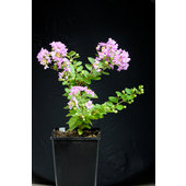 Lagerstroemia+indica+%26%23039%3BLittle+Chief%26%23039%3B
