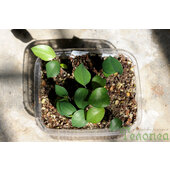 Lapageria rosea seedlings