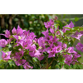 Bougainvillea+sp.
