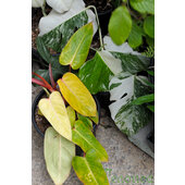 Philodendron+%26%23039%3BMedisa%26%23039%3B