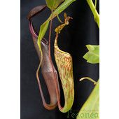 Nepenthes+sanguinea+%27black+beauty%27
