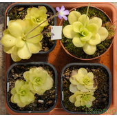 Pinguicula+sp.