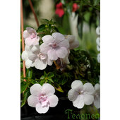 Achimenes+%27Double+Pink+Rose%27
