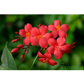 Jatropha+integerrima