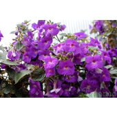 Achimenes+%27Purple+King%27
