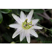 Passiflora+%27White+Wedding%27