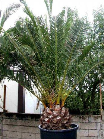 Финикова палма феникс дактилифера